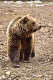 European Brown Bear in Romania Stock Images