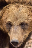 European Brown Bear in Romania Stock Image