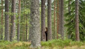European brown bear standing in the forest Royalty Free Stock Photos