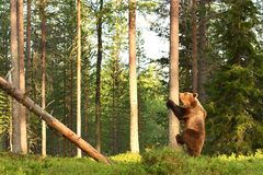 European brown bear starting to climb Royalty Free Stock Photography