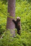 European brown bear (Ursus arctos),. European brown bear in the national park Bavarian wood Stock Image