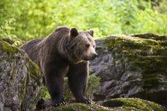 European brown bear (Ursus arctos),. European brown bear in the national park Bavarian wood Stock Images