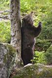 European brown bear (Ursus arctos),. European brown bear in the national park Bavarian wood Stock Photo