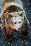 European brown bear Royalty Free Stock Images