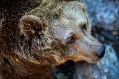 European brown bear Stock Photo