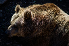 European brown bear Stock Photos