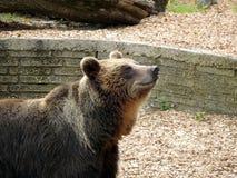 European brown bear Royalty Free Stock Images