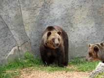 European brown bear Stock Image