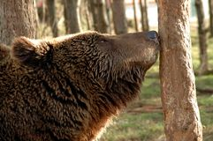 European brown bear (Ursus arctos arctos). An European brown bear smells a tree Stock Images
