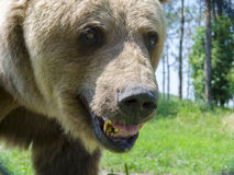 European brown bear (Ursus arctos arctos) Royalty Free Stock Photo