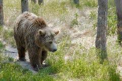 European brown bear (Ursus arctos arctos) Royalty Free Stock Photo
