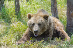European brown bear (Ursus arctos arctos) Stock Photo