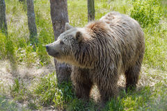 European brown bear (Ursus arctos arctos) Stock Image