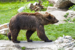 European brown bear (Ursus arctos arctos) royalty free stock photography
