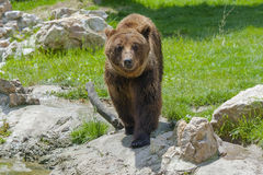 European brown bear (Ursus arctos arctos) stock photography