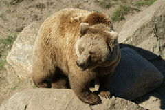 European brown bear royalty free stock photo