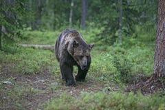 European brown bear, Ursus arctos arctos Stock Image