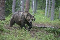 European brown bear, Ursus arctos arctos Stock Images