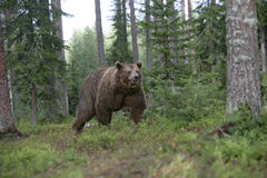 European brown bear, Ursus arctos arctos Stock Images