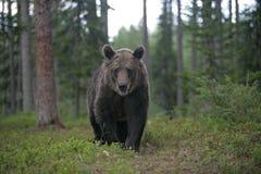 European brown bear, Ursus arctos arctos Royalty Free Stock Image
