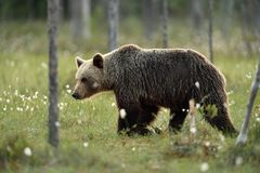 European brown bear Ursus arctos. Brown bear ursus arctos in bog Stock Images