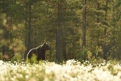 European Brown Bear Royalty Free Stock Image