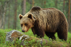 European brown bear Ursus arctos. Brown bear ursus arctos in forest Royalty Free Stock Images