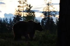 European Brown Bear Ursus arctos. In a forest. Brown bear at twilight Stock Image
