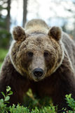 European Brown Bear Ursus arctos portrait. In a forest. Brown bear face Royalty Free Stock Photo