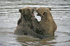 European brown bear, Ursus arctos Royalty Free Stock Photography