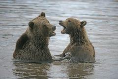 European brown bear, Ursus arctos Royalty Free Stock Images