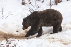 European Brown Bear Stock Photography