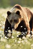 European brown bear walking in the blossoming cottongrass Royalty Free Stock Photo