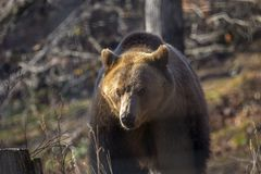 European brown bear walking. In forest royalty free stock images