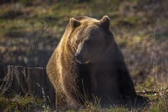 European brown bear walking. In forest royalty free stock image