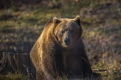 European brown bear walking. In forest royalty free stock photos