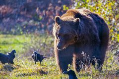 European brown bear walking. In forest stock photos