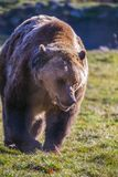 European brown bear walking. In forest stock photography