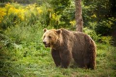 European brown bear Stock Photo