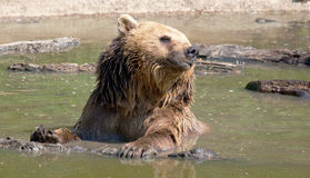 European Brown Bear in Water Royalty Free Stock Images