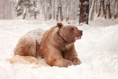European Brown Bear in a winter forest Stock Image