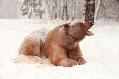 European Brown Bear in a winter forest Royalty Free Stock Images
