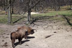 European brown bison Bison bonasus that live in nature reserves in Europe Royalty Free Stock Photos