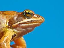 Frog Head against Sky. European Brown Frog (Rana temporaria) Close up of Head against Blue Sky Royalty Free Stock Image