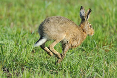 European Brown Hare Royalty Free Stock Image