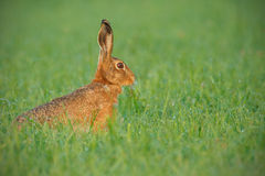 Early morning hare Royalty Free Stock Photo