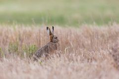 European brown hare jackrabbit lepus europaeus hidden in toast. Natural european brown hare jackrabbit lepus europaeus hidden in toasted grassland Royalty Free Stock Photo