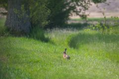 European brown hare jackrabbit lepus europaeus  sitting in gre. Natural european brown hare jackrabbit lepus europaeus  sitting in green meadow Stock Photo