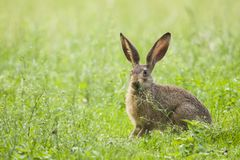 European Brown hare in meadow stock image