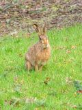 Easter brown hare, Lepus europaeus. Peebles, Scotland. A stunning example of the European or brown hare, Lepus europaeus, in grassland near the Scottish Borders royalty free stock photography